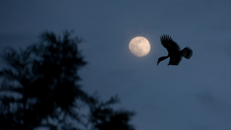 Great hornbill and moonrise